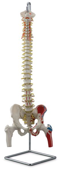 FLEXIBLE VERTEBRAL COLUMN WITH FEMUR HEADS AND MUSCLE INSERTIONS 6041.08 rect