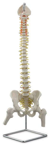 Flexible Vertebral Column with Open Sacrum and Femur Heads - code: 6041.10