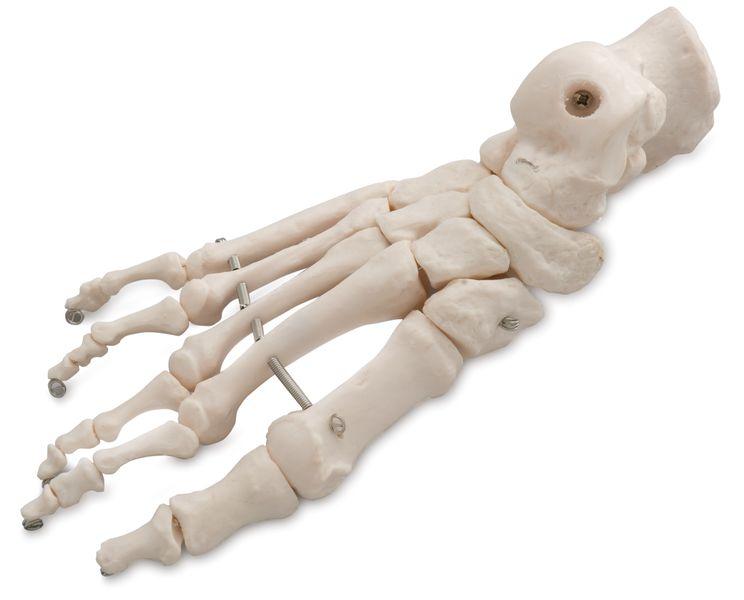 BONES OF THE FOOT 6041.40
