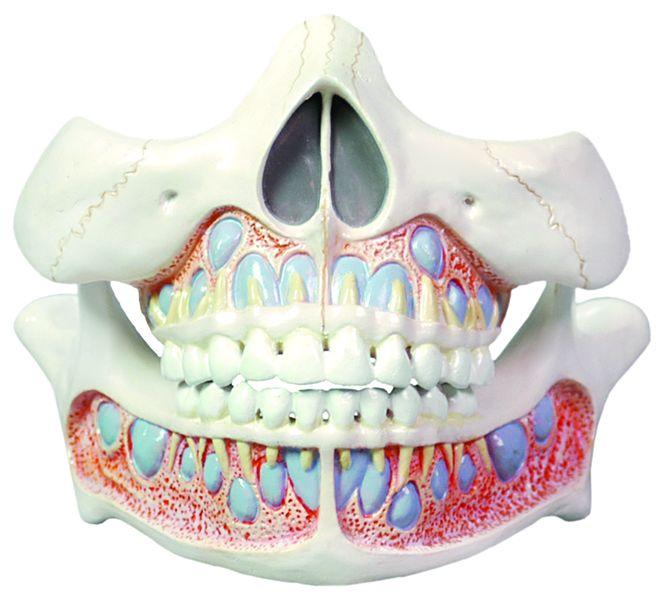 Decidous Teeth Model - code: 6041.54