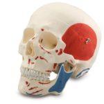 Human Muscular Skull, 3 parts - code: 6041.55