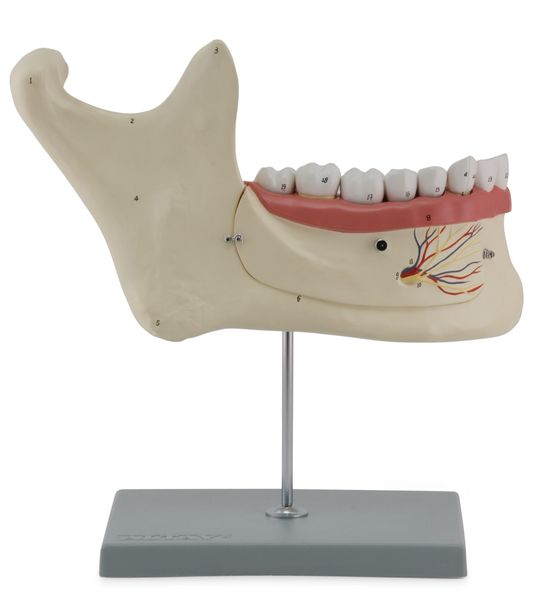 Lower Jaw, 6 Parts - code: 6041.60 b
