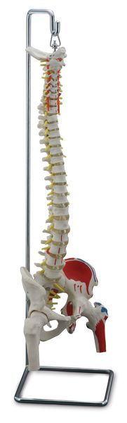 FLEXIBLE VERTEBRAL COLUMN WITH FEMUR HEADS, MUSCLE INSERTIONS, REMOVABLE SACRAL CREST 6041.90