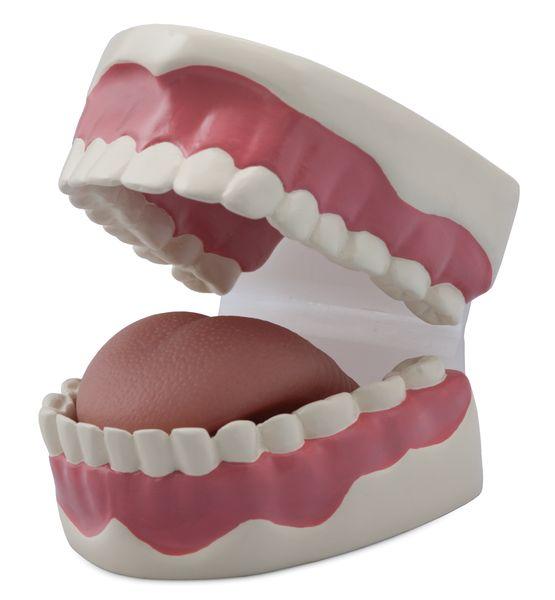 Dental Hygiene Model - code: 6041.93 a