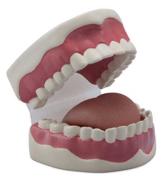 Dental Hygiene Model - code: 6041.93 b