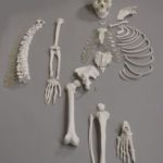Human Disarticulated Skeleton, Half - code: 6042.06
