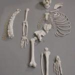 Human Disarticulated Skeleton, Half - code: 6042.06