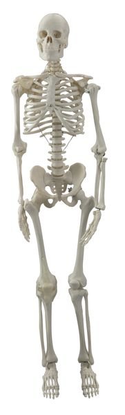human mini skeleton joints quad 6042.28