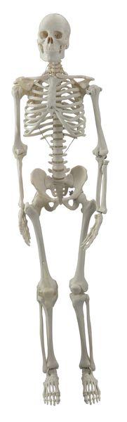 human mini skeleton joints quad 6042.28