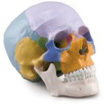 Coloured Skull, 3 parts - code: 6042.29