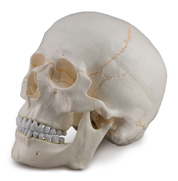 SKULL WITH BLOOD VESSELS, 3 PARTS 6042.31