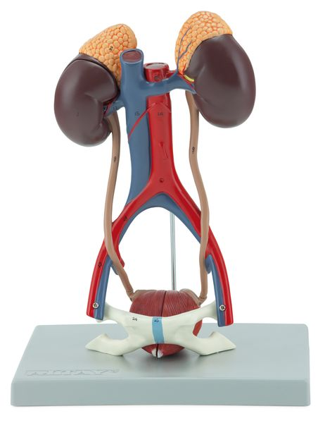 Urinary System, 5 Parts - code: 6140.12 a