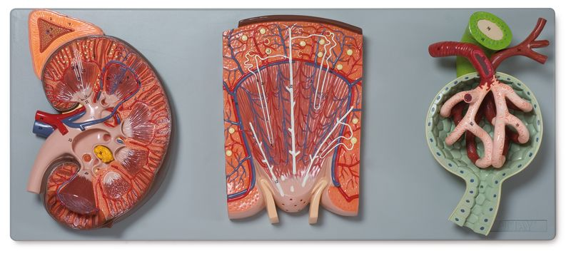 Kideny Section with Renal Nephron and Renal Corpuscle - code: 6140.14