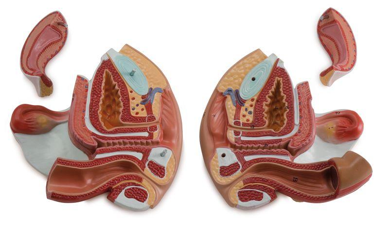 Female Genital Organ, 4 Parts - code: 6180.15 b