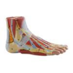 Anatomy of the Foot - code: 6000.35