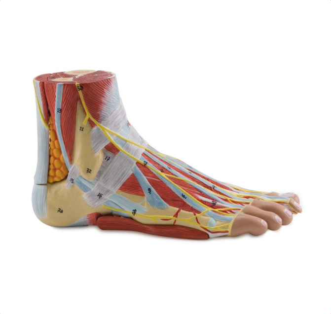 Anatomy of the Foot - code: 6000.35 rect