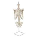Skeleton of Human Trunk - code: 6041.83