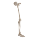 Skeleton of Lower Limb with Half Pelvis - code: 6041.41