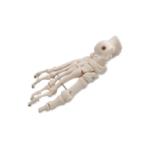 Bones of the Foot - code: 6041.40