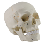 Human Skull, 3 parts (numbered) - code: 6041.79