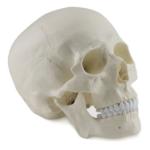 Human Skull, 3 parts - code: 6041.50
