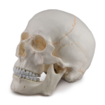 Skull with Blood Vessels, 3 parts - code: 6042.31