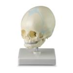 Baby Skull - code: 6042.26