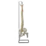 Flexible Vertebral Column with Femur Heads - code: 6041.07