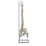 Flexible Vertebral Column with Femur Heads - code: 6041.07
