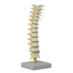Thoracic Spinal Column - code: 6041.86