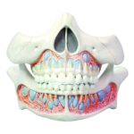 Deciduous Teeth Model - code: 6041.54