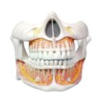 Permanent Teeth Model - code: 6041.53
