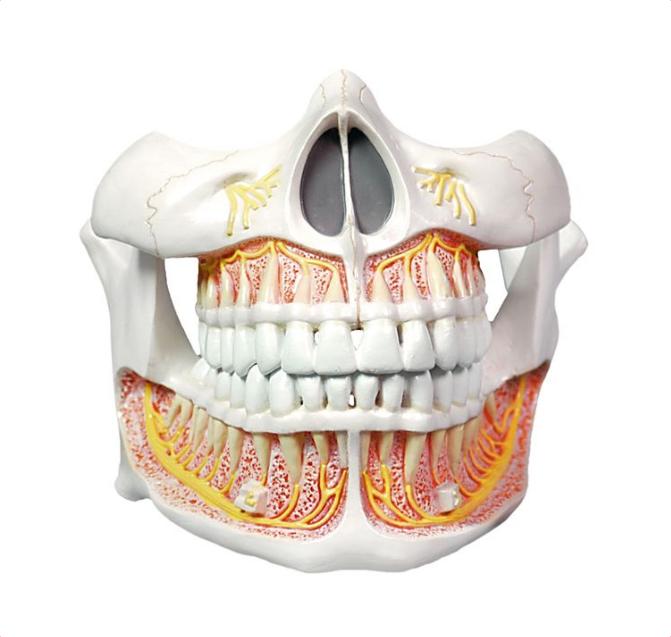 Permanent Teeth Model - code: 6041.53 rect