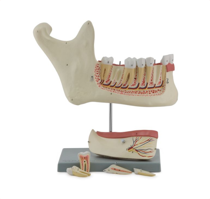 Lower Jaw, 6 Parts - code: 6041.60 rect