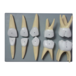 Deciduous Teeth - code: 6042.33