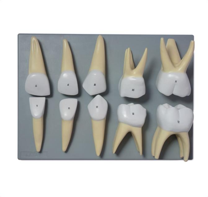 Deciduous Teeth - code: 6042.33 rect
