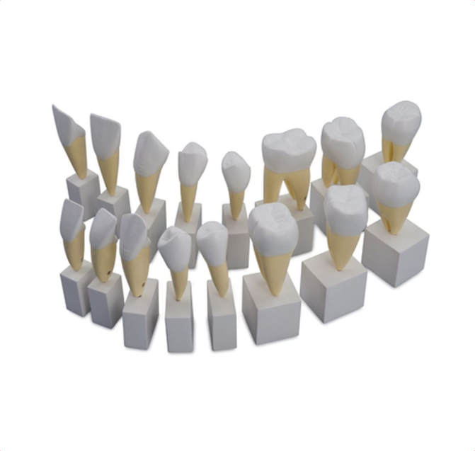 Permanent Teeth - code: 6042.32 rect