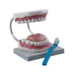 Oral Hygiene Model - code: 6041.05