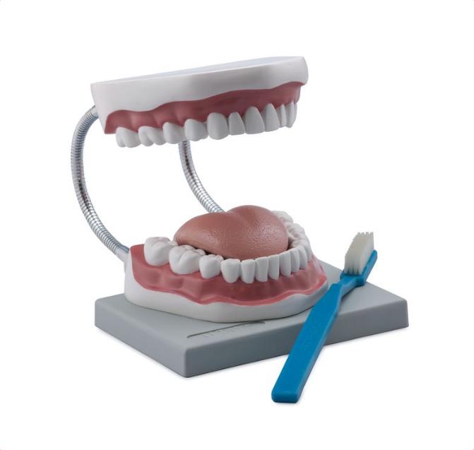 Oral Hygiene Model - code: 6041.05 rect