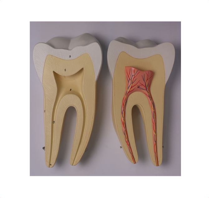 Incisor, Canine and Molar - code: 6041.82 rect