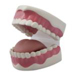 Dental Hygiene Model - code: 6041.93