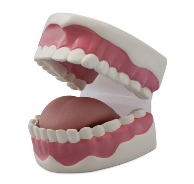 Dental Hygiene Model - code: 6041.93 rect