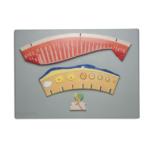 Periodic Changes of Female Hormones and Internal Layer of Uterus - code: 6180.05