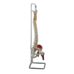 Flexible Vertebral Column with Femur Heads, Muscle Insertions and Removable Sacral Crest - code: 6041.90