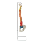 Flexible Spinal Column with Colour Coded Regions - code: 6041.95