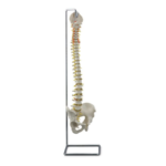 Flexible Vertebral Column - code: 6041.06