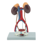 Urinary System, 5 Parts - code: 6140.12
