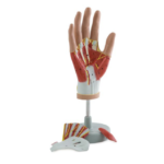 Muscles of the Hand, 4 Parts - code: 6000.08