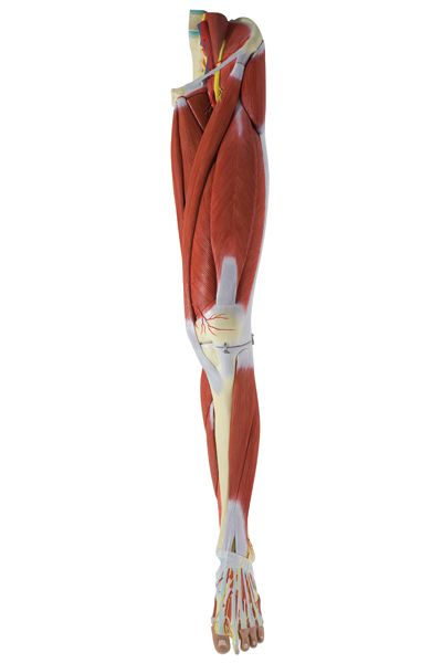 Muscles of the Human Leg, 23 Parts - code: 6000.39 d