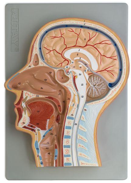 Median Section of Head (Relief Model) - code: 6030.01